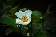 fleur de seringat.jpg
