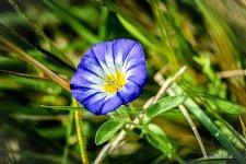 Fleur de liseron.jpg